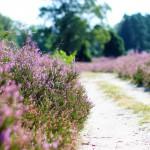 Lüneburger Heide – vùng đất của hoa thạch thảo